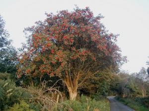 Tree temp - Rowan