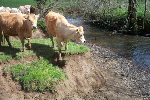 Cattle on riverbank